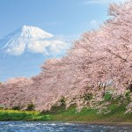 Cherry tree in bloom with Mt Fuji in the background