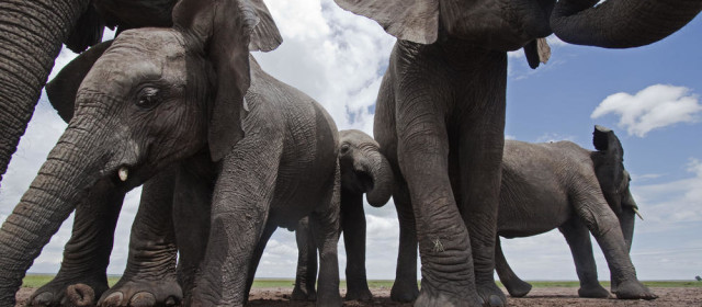 America and China Agree to End Elephant Slaughter