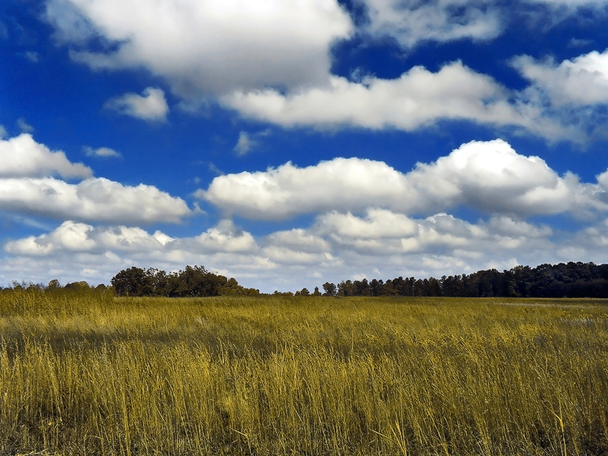 Fair Weather Cumulus Over Golden Meadow