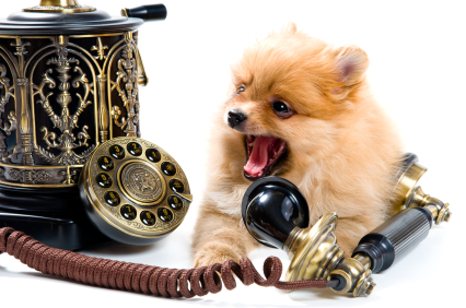 Spitz-dog Puppy with phone