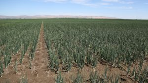 onion plants in rows, with small bits of brown residue remaining on soils between the rows.