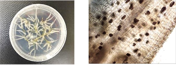 petri dish on left with white root hairs visible; microscopic image on right showing black dots throughout