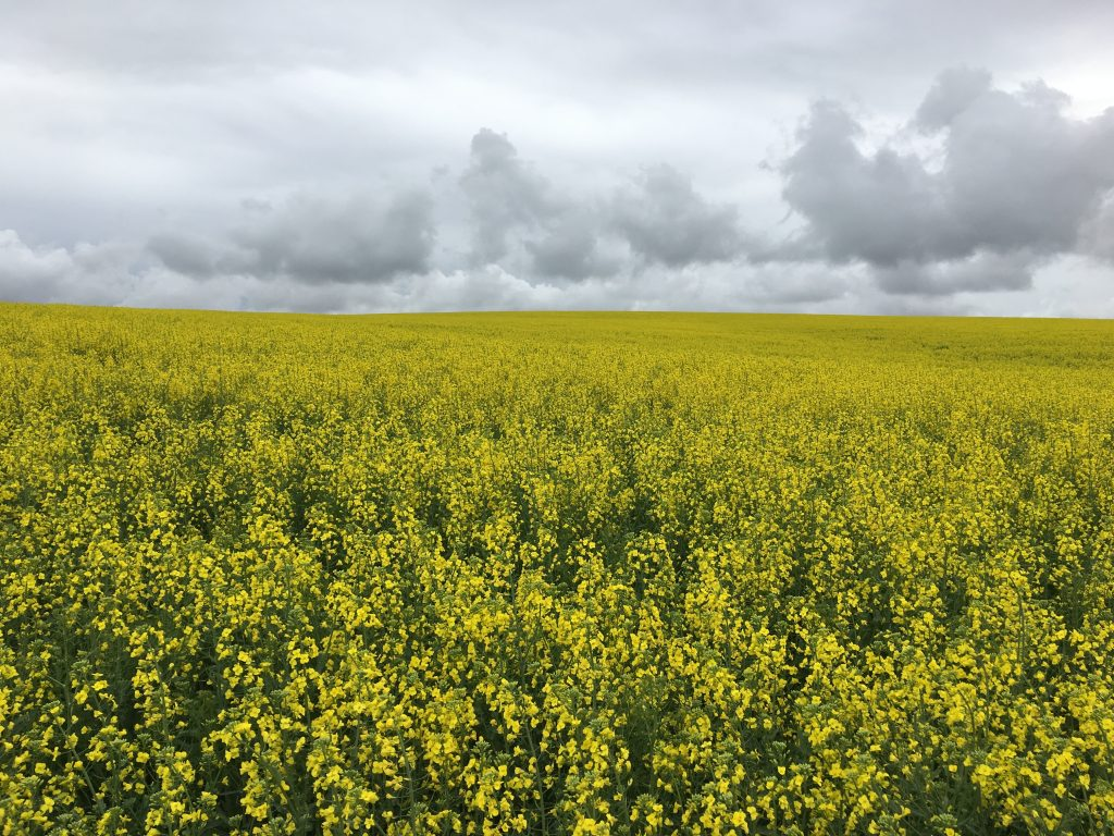 Yellow blooming mustard in field