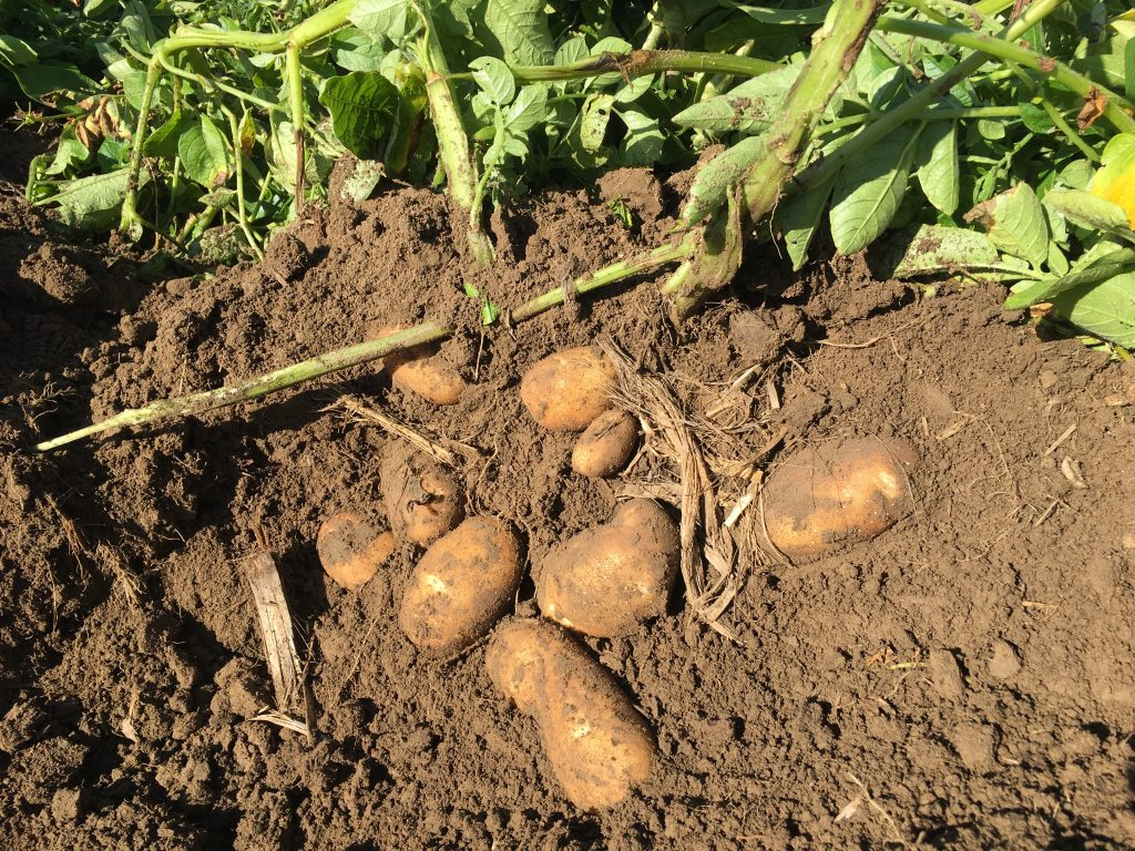 Potatoes on soil