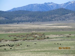 Cattle grazing on grassland; mountains in the distance.