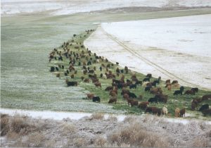 Cattle graze in snowy field.