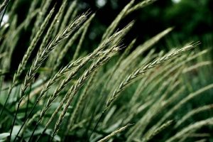 Close-up of stalks of wheat.