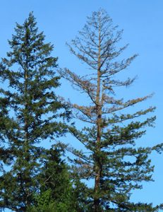 A fir tree with the top portion brown and bare of needles