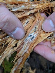 Close-up of wood with Annosus root rot