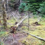 Scattered dead trees from root rot in forest