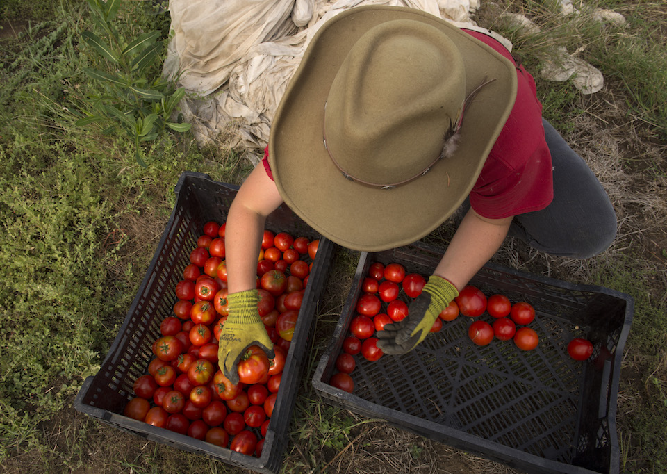 Robin Loznak, Norm Lehne Gardens and Orchards, tomatoes