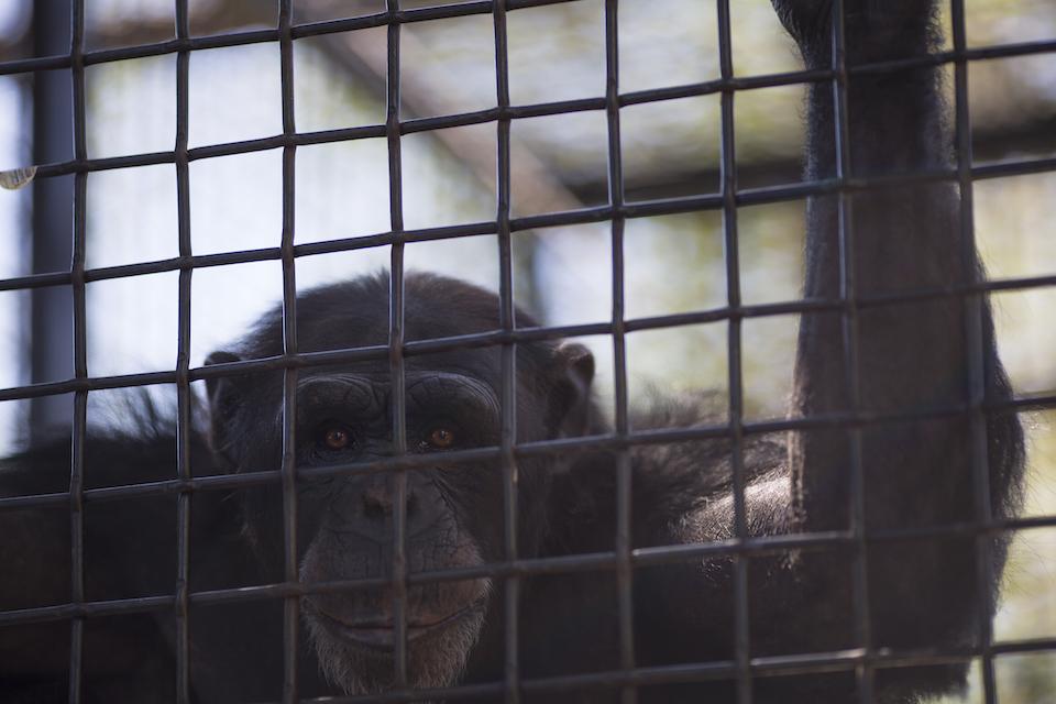 ben mcbee, chimps inc