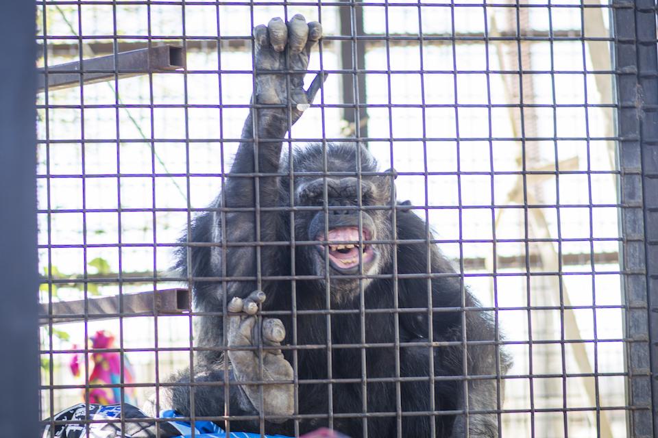 KJ Hellis, chimps inc