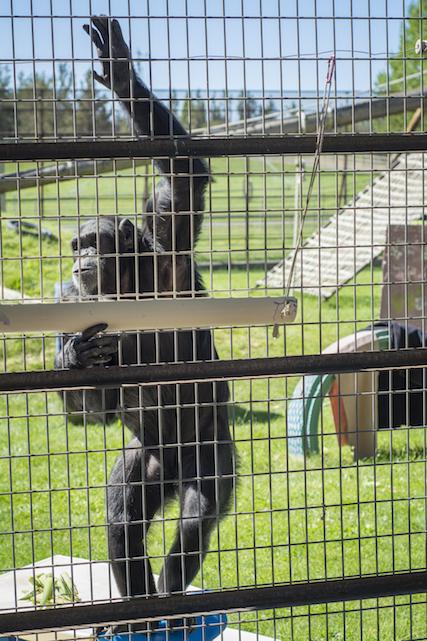 Kjerstin Hellis, chimps inc