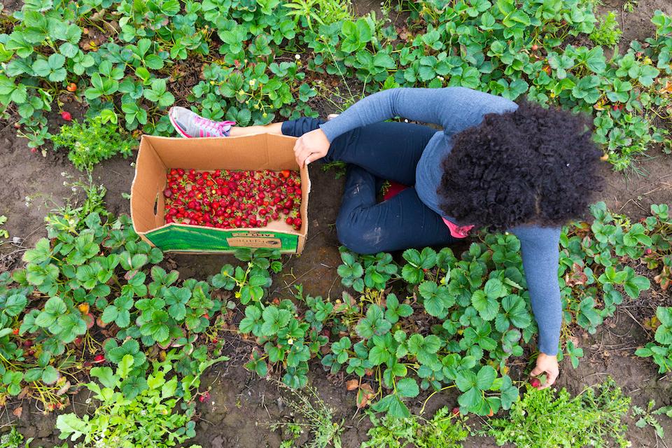 salem harvest, strawberries