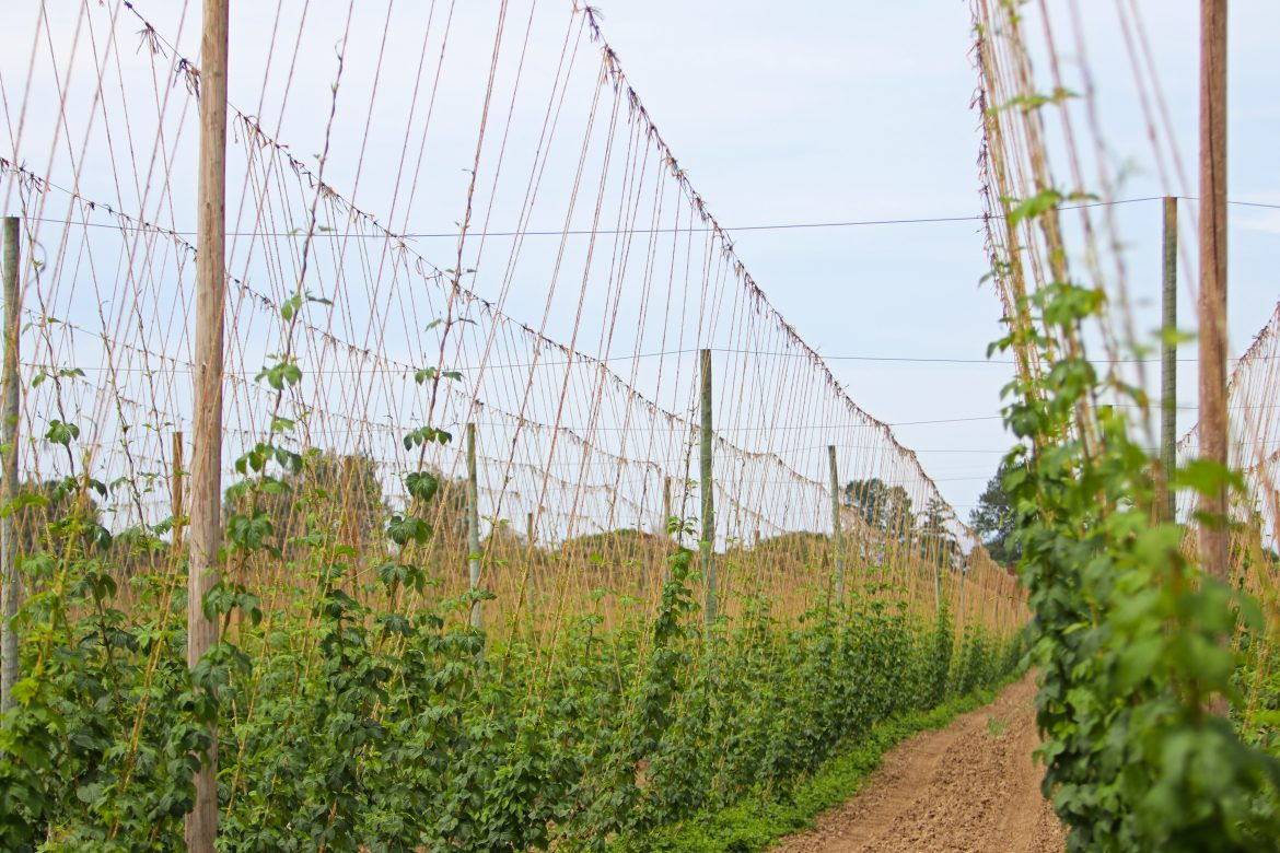 hops at Rogue Farms