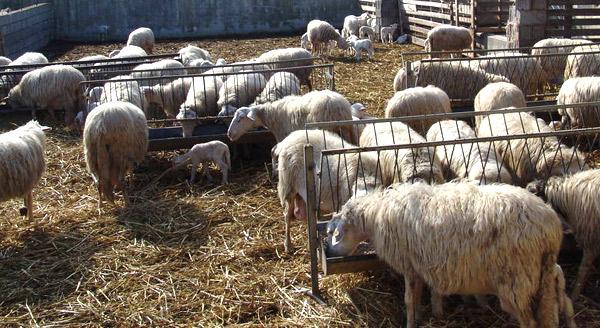 pecore-allevamento