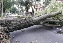albero abbattuto dal vento