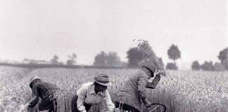 grano campagna
