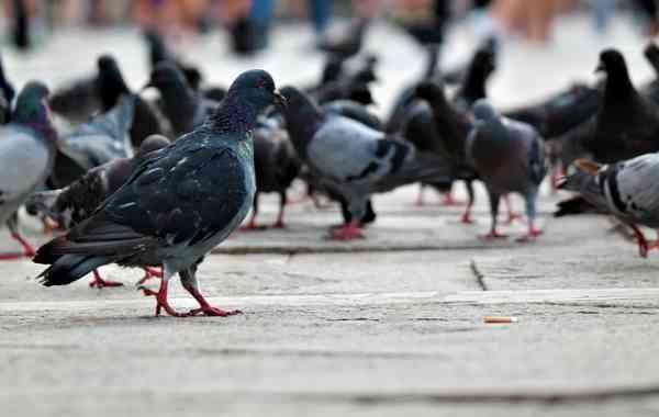 piccioni-e-colombi