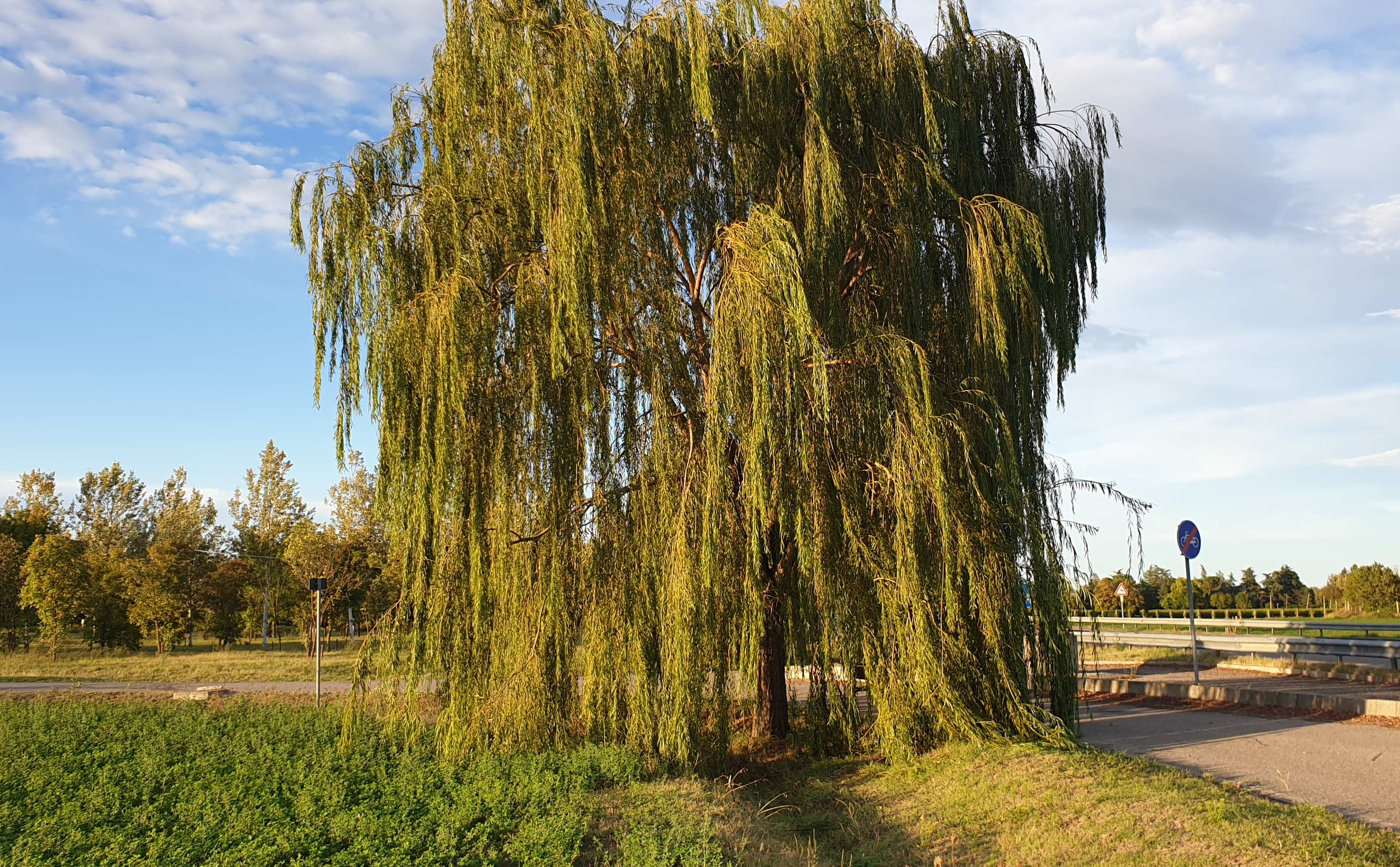 salice-piangente-alberi-Carpena