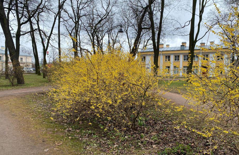 В Петербурге зацвела форзиция