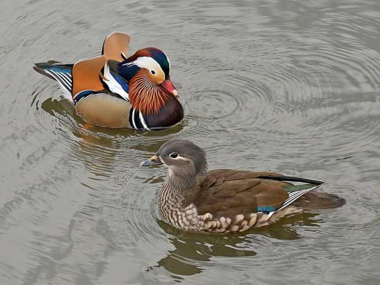 Петербуржцев призвали не кормить уток и других птиц