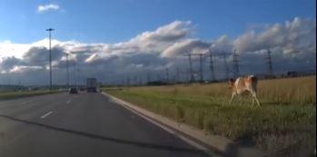 На улице Софийской заметили бегущую корову