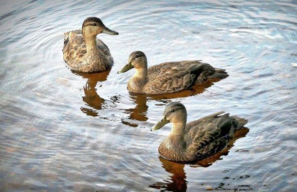 Чиновники проверили Таврический пруд после жалоб на гибель уток
