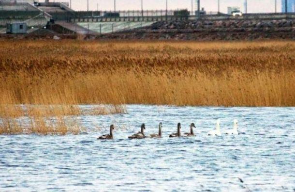 Петербуржцы заметили стаю лебедей в Финском заливе