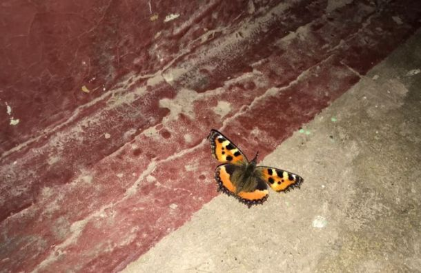 Петербуржцы заметили проснувшуюся среди зимы бабочку