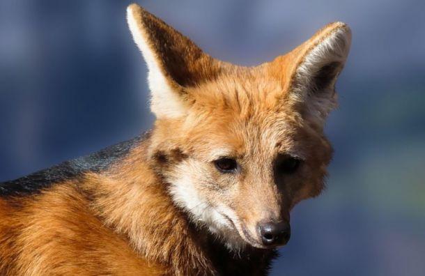 Несколько рейсов в Санкт-Петербурге ушли на второй круг из-за лисы