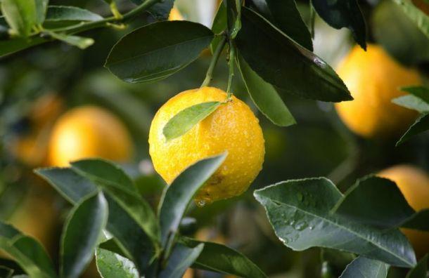 Генпрокуратура попросила ФАС проверить рост цен на имбирь и лимон