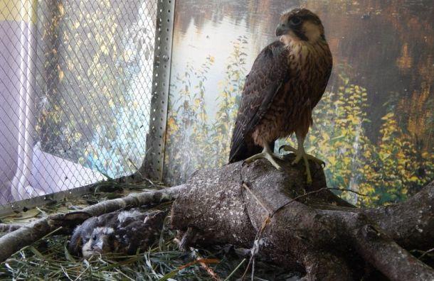 Житель Петербурга выкрал редких птиц со скалы в Коми