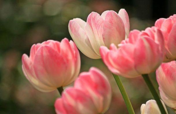 Петербурженкам 8 марта подарят 2 тысячи тюльпанов