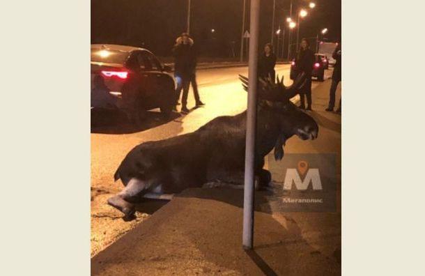 Крупного лося сбили в Юнтолово