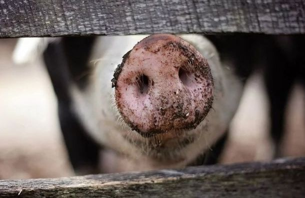 Вспышка АЧС в Болгарии привела к забою 24 тысяч свиней