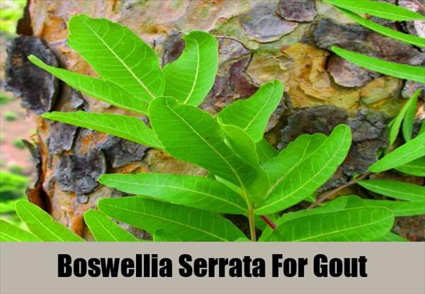 Gout and Herbs to Help With Gout Boswellia-Serrata-For-Gout5