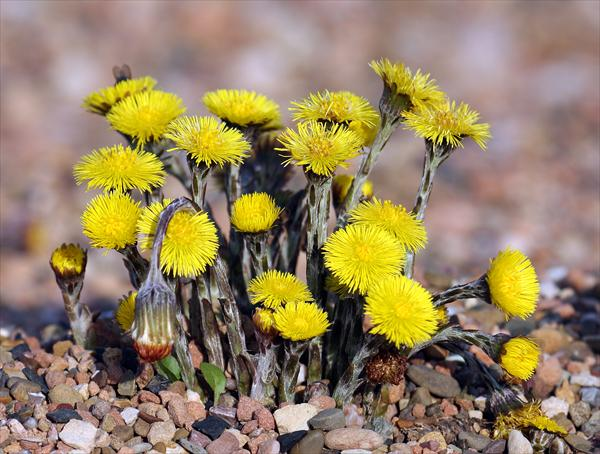 Smoke Cause Bronchitis. the Nutritional Facts Concerning Coltsfoot