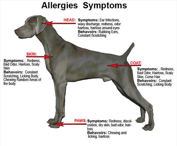 [Image: Dog-symptoms-allergy-template.jpeg]