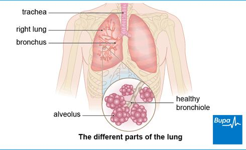 [Image: Lungs-different-parts-of6.jpeg]