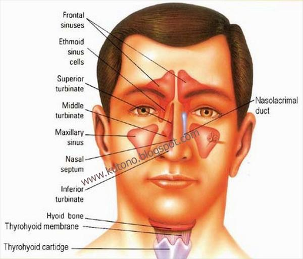 Red Wine Sinus Infection, Flying With Sinusitis, a Simple Obat-Herbal-Penyakit-Sinusitis