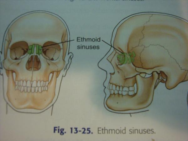 Sinusitis and What is Ethmoid Sinus? and Getting to Know Pic-Anatomy-Ethmoid-Sinuses5
