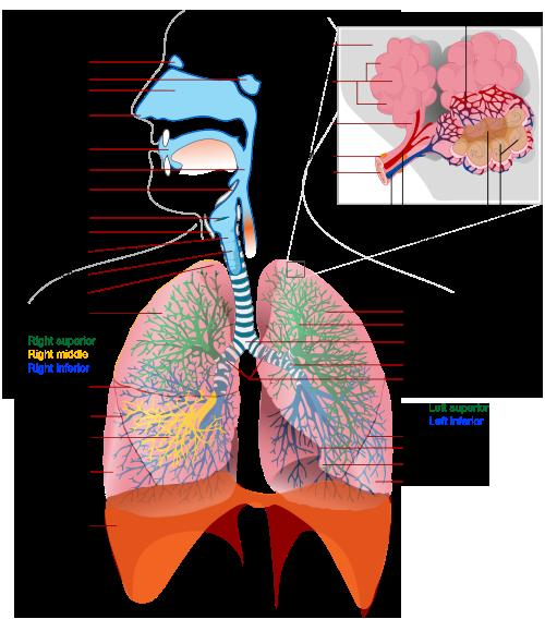 Respiratory Infection Bronchitis: Diseases of the Lung Respiratory-system-complete-large