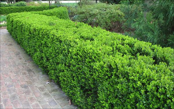 [Image: boxwood7.jpeg]