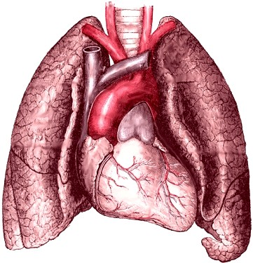 [Image: heart-and-lungs-Mikael-Haggstrom.jpeg]