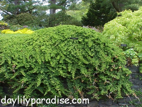 Uses and Side Effects Japanesegardenjuniper