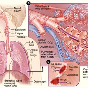 Bronchitis Cough and Reasons for Bronchitis and Symptoms  Lung-anatomy03