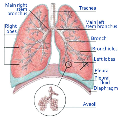 Bronchitis from Smoking, Causes of COPD (Chronic Bronchitis Lungs5901