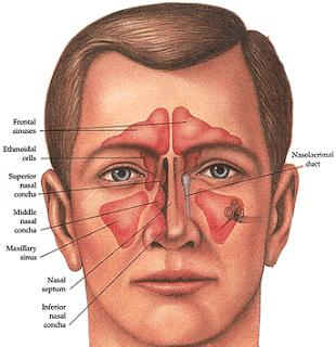 After Sinus Surgery: Sinusitis Information to Answer Your Nose-anatomy-front